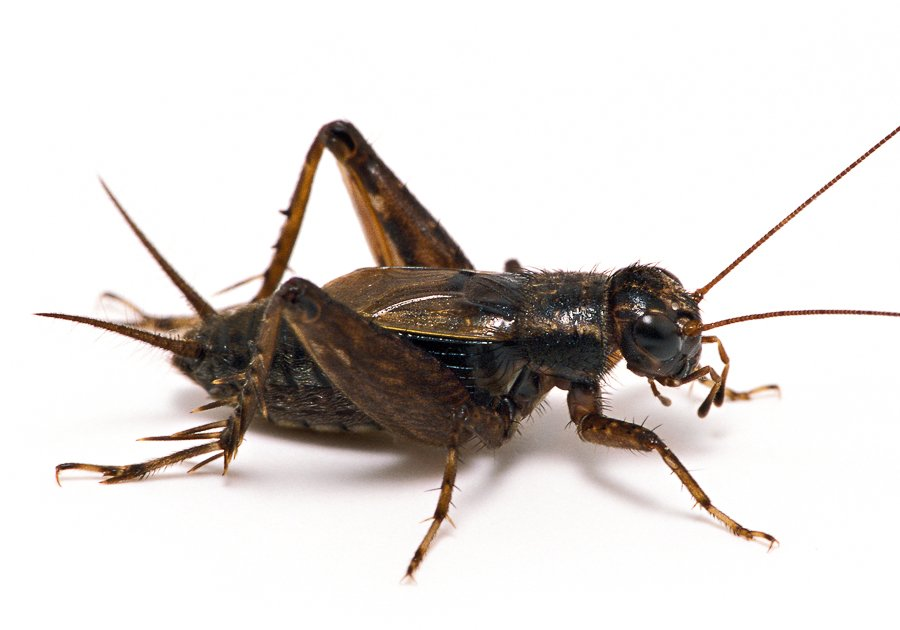 Striped Ground Cricket (Photo by songsofinsects.com/crickets)