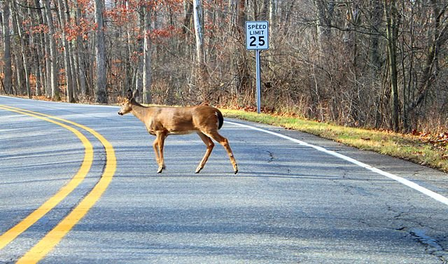 White-tailed deer crossing a road (Photo credit: Dwight Burdette, via commons.wikimedia.org)