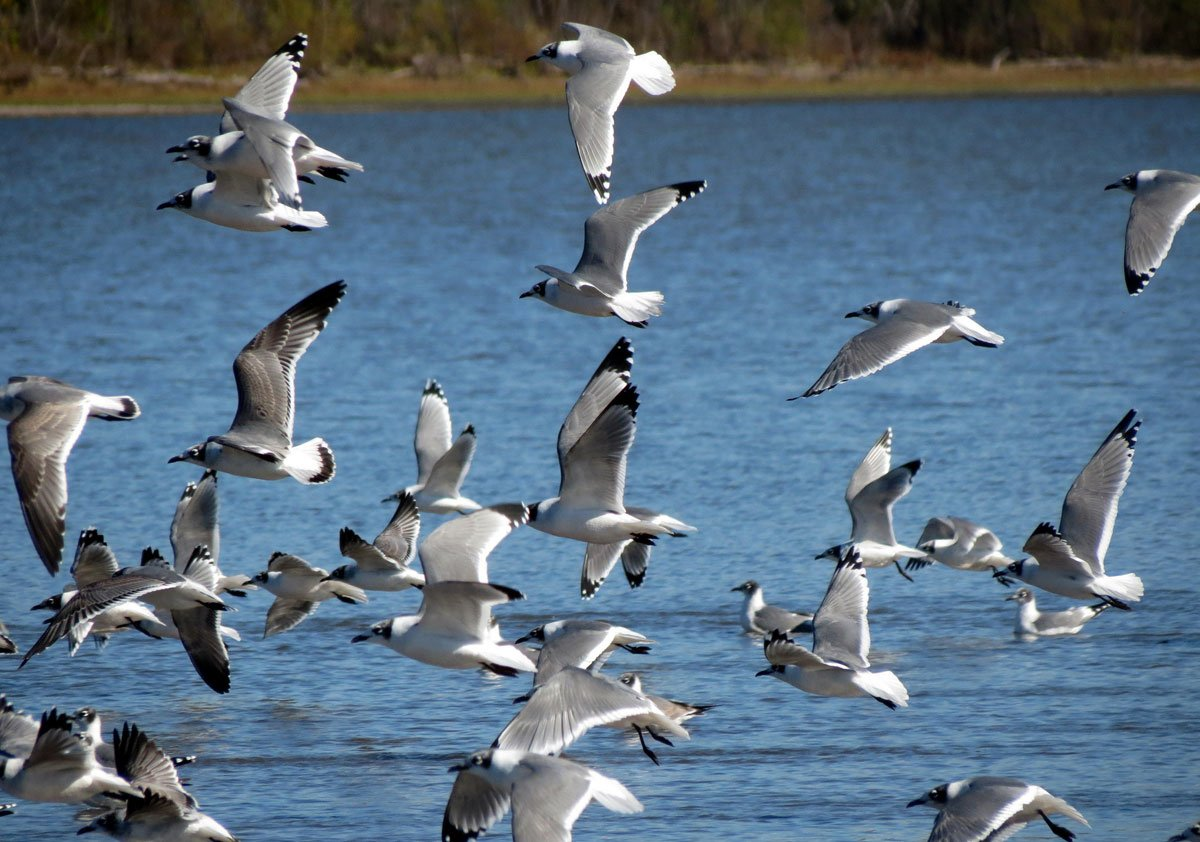 Franklin's Gulls on Hillsdale Lake, Miami County, Kan. (Flickr Photo by Nick Varvel)
