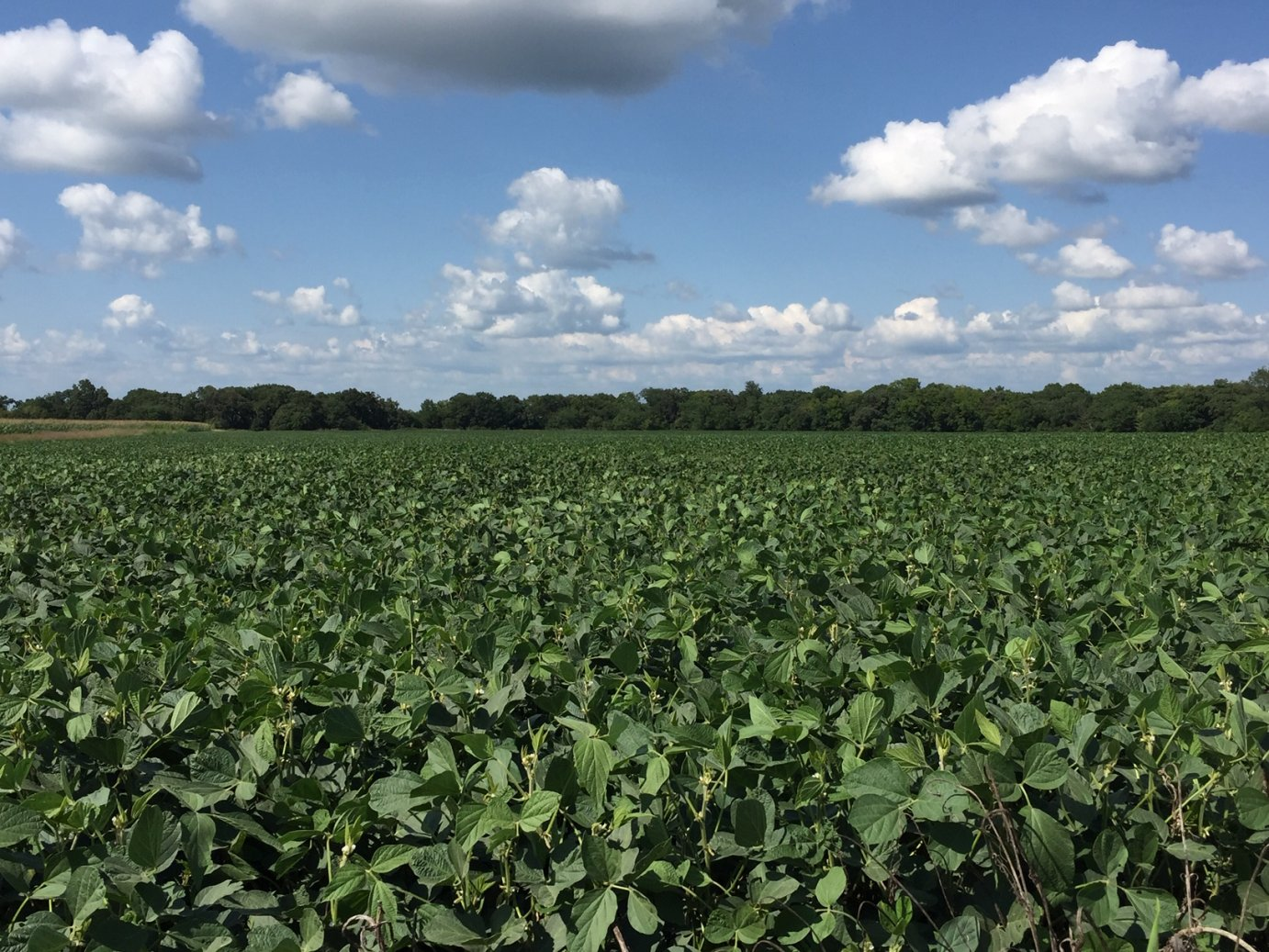 Soybean crop, south of Wamego, Kansas (File photo by J. Schafer)