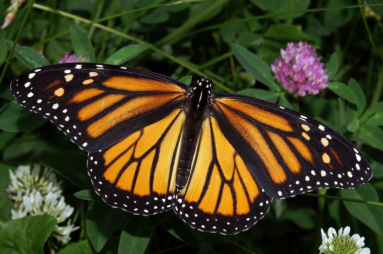 A typical Monarch butterfly. (Photo by Wikipedia.)