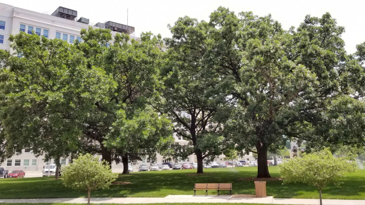 Oak trees outside the Kansas Statehouse. (Photo by Stephen Koranda)