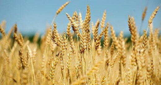 Wheat Producers Worried About Possible Freeze Damage