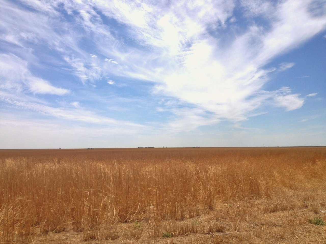 This patch of ground in Logan County represents a typical western Kansas wheatfield.  When rainfall is scarce, irrigation is used to grow wheat, corn and other crops in western Kansas. (Photo by J. Schafer)