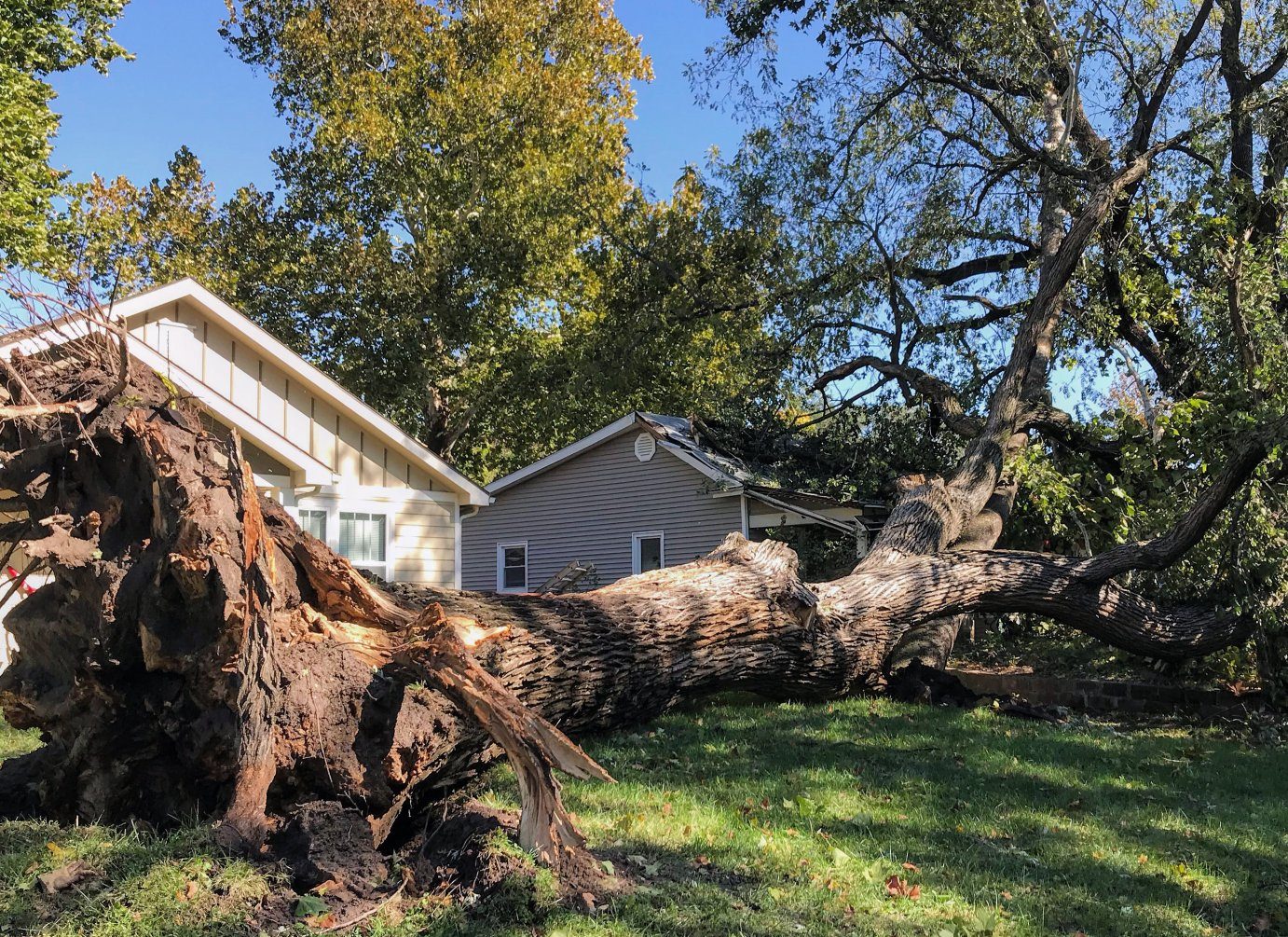"""A large elm tree, locally known as the """"Hellava Elm,"""" was uprooted by the storm over the weekend. Photo: Danny Mantyla."""
