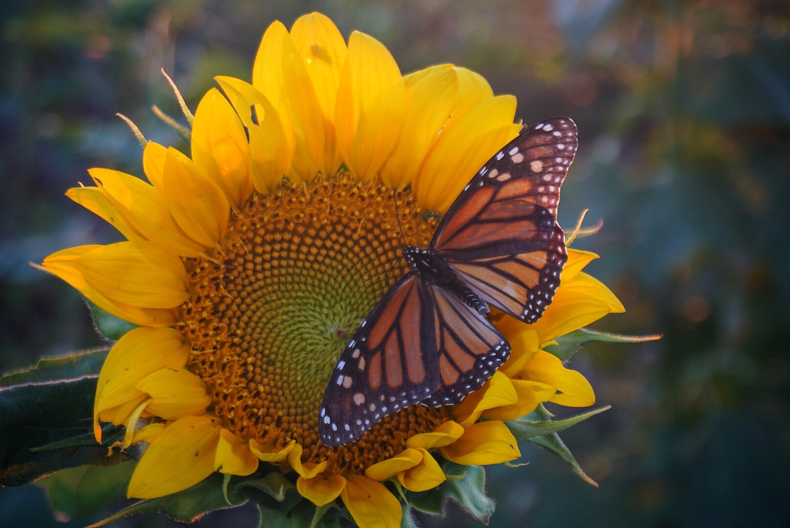 Sunflower and Monarch butterfly, near Berryton, Kan., 2018 (Photo by Micah Naeger)